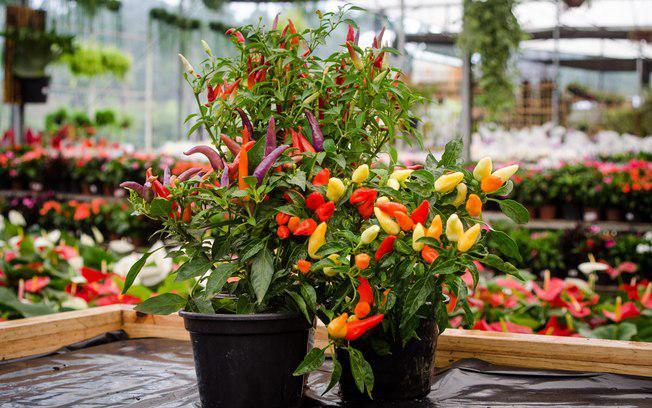 Cultive sua pimentinha em casa