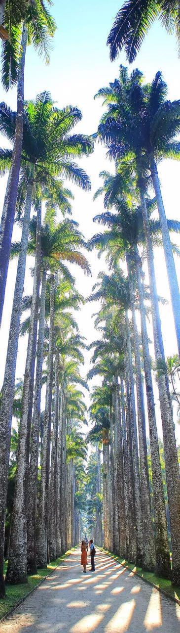 Sua majestade, a Palmeira Imperial