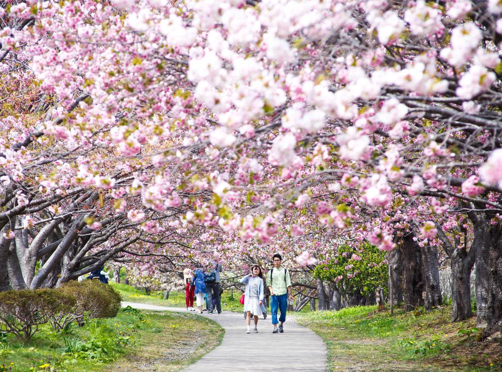 Florada das cerejeiras no Japão