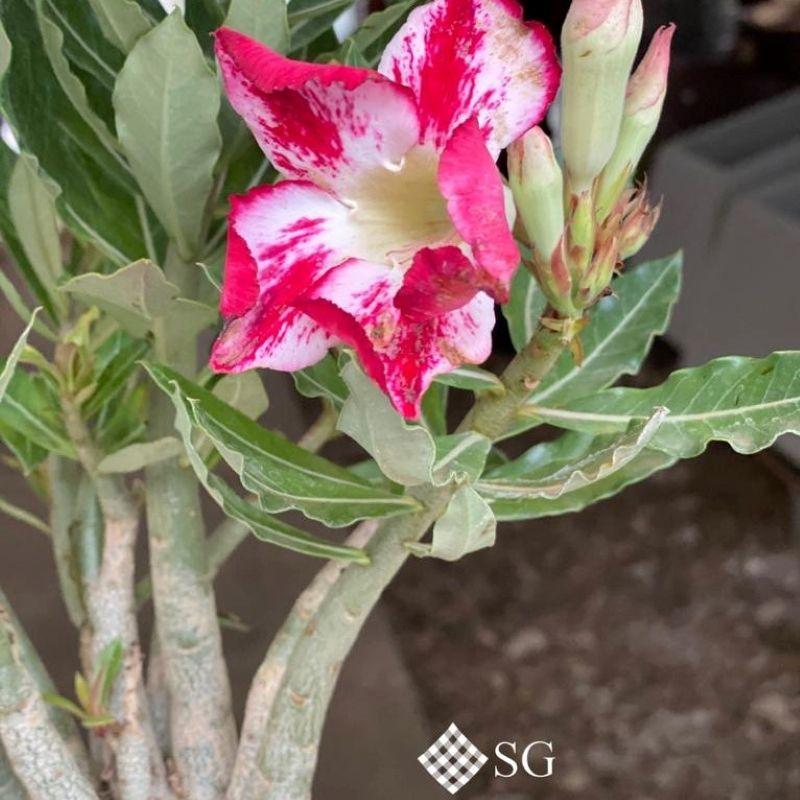 Flor do deserto: um presente especial da natureza