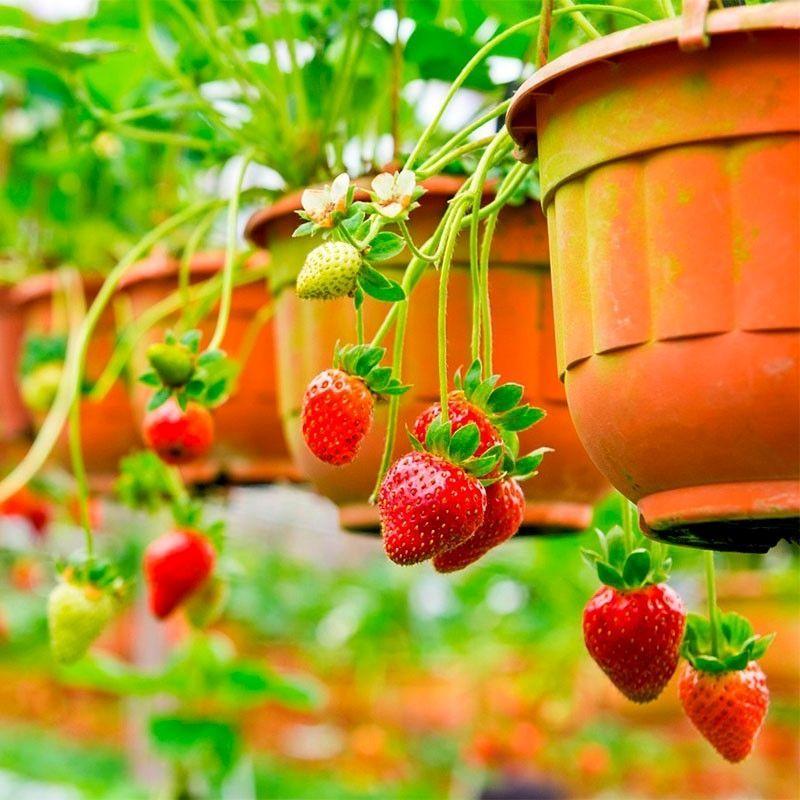 Árvores frutíferas em vasos podem, sim, senhor!
