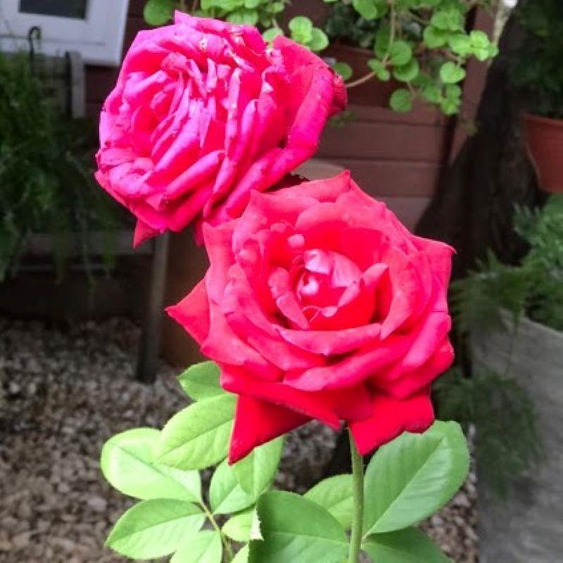A rosa reina com beleza e elegância na natureza