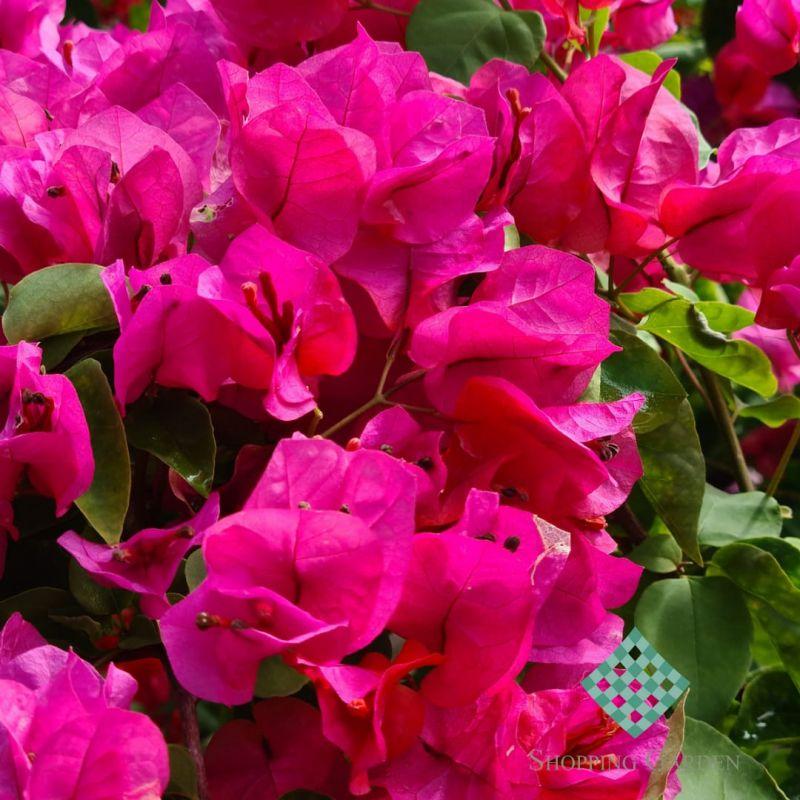 Bougainville! Possue flores com infinidade de Tons