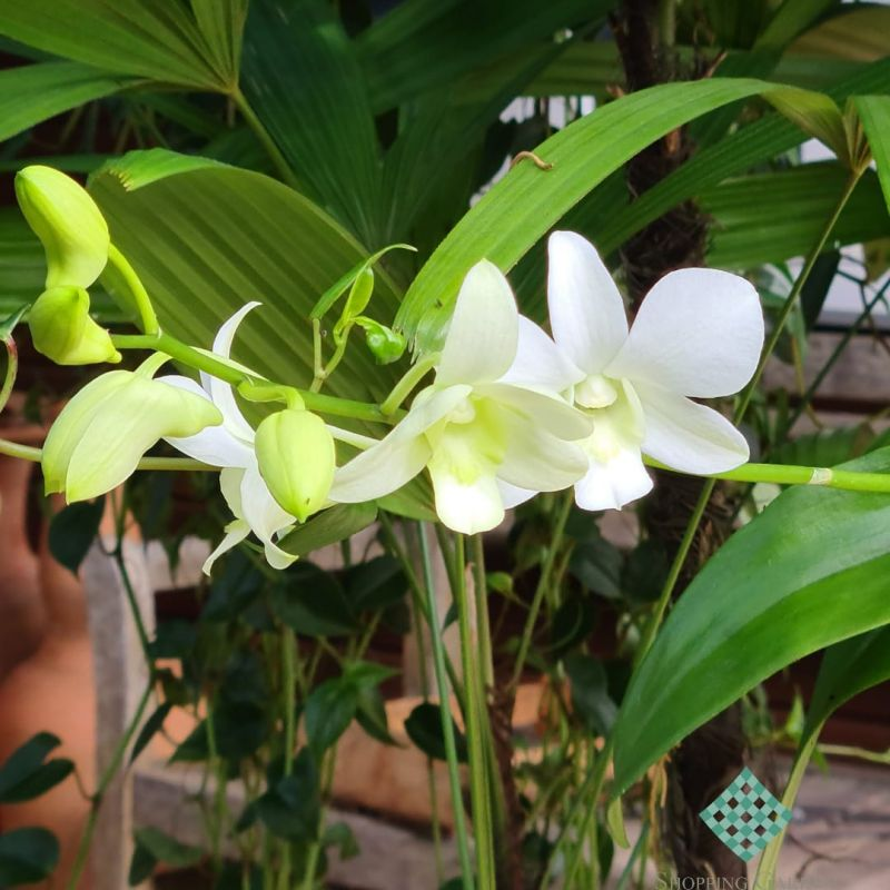Orquídea Cymbidium é símbolo de pura beleza.