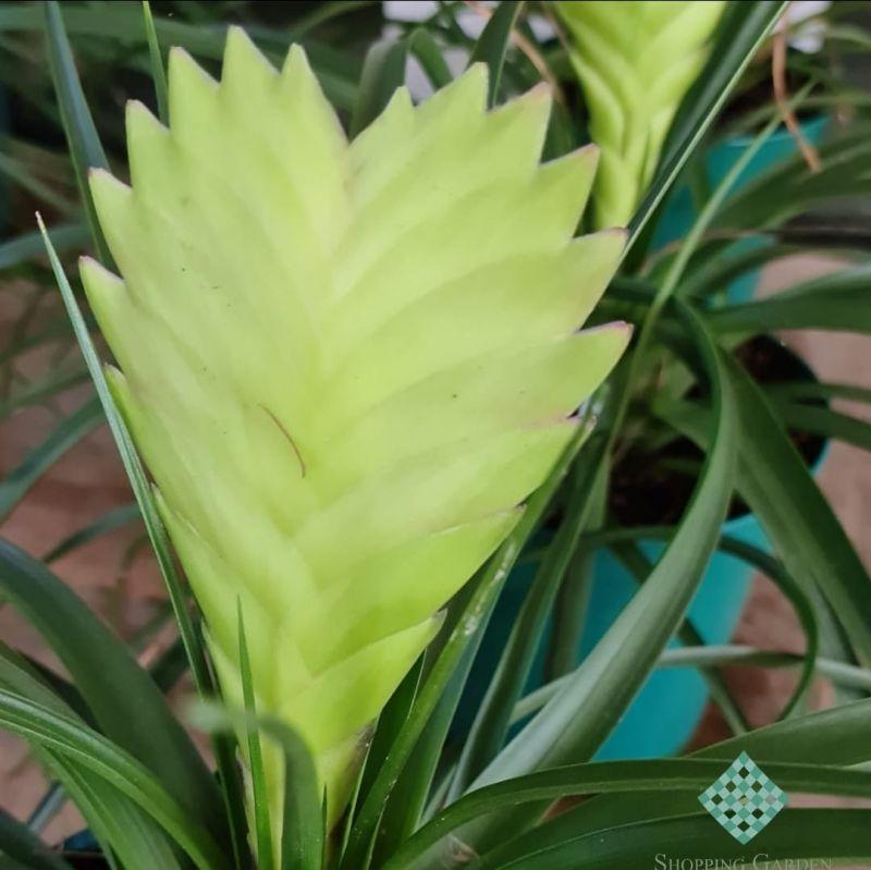 Bromélia Tillandsia, linda! Com coloração única