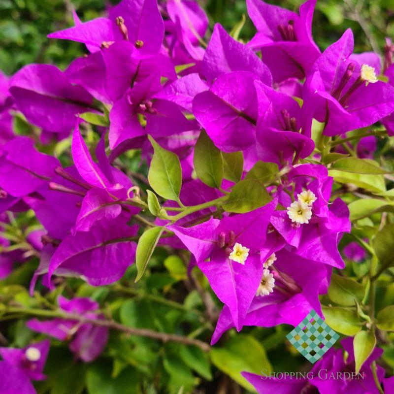 Bougainville! Possuem flores com vários tons