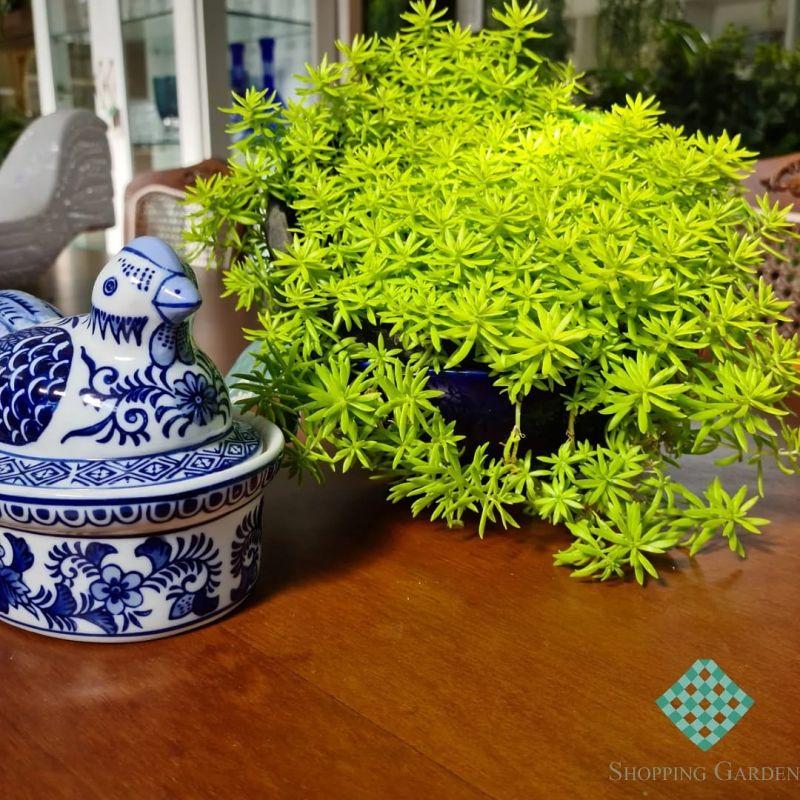 Porcelanas Azuladas.
